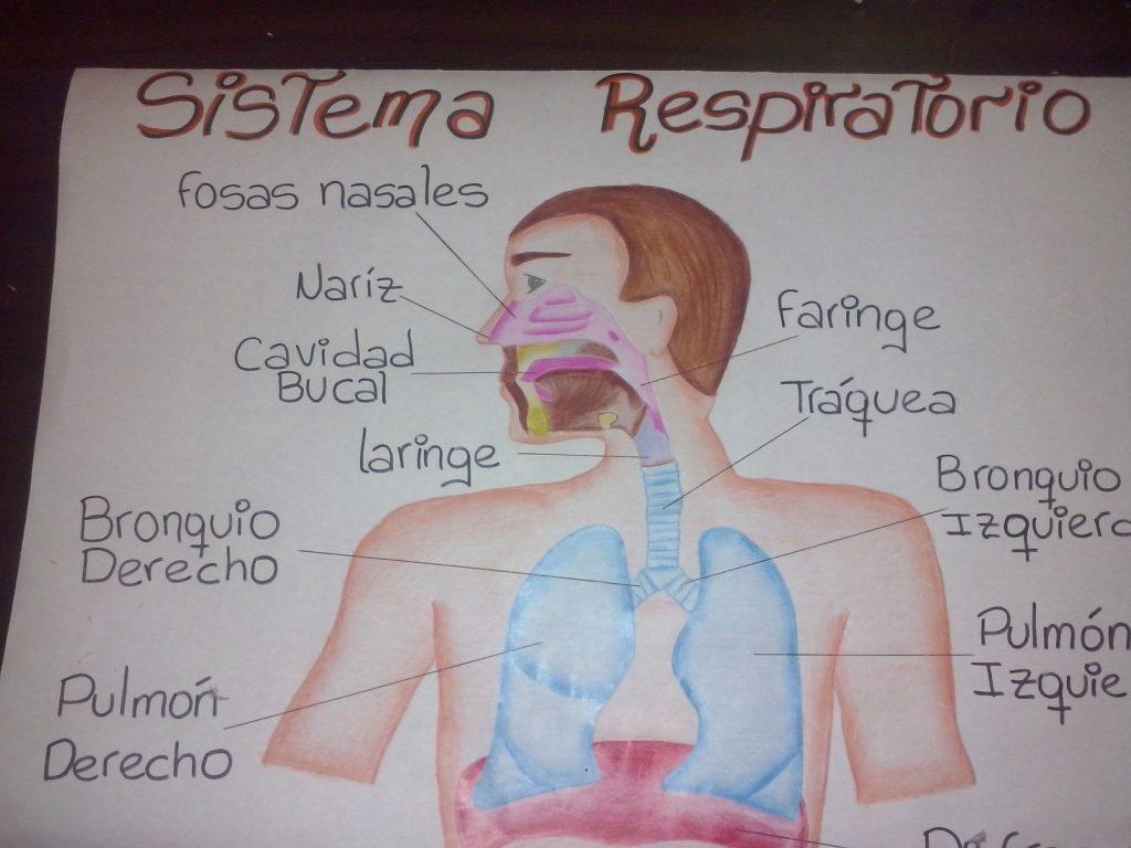 mapa conceptual sistema respiratorio humano