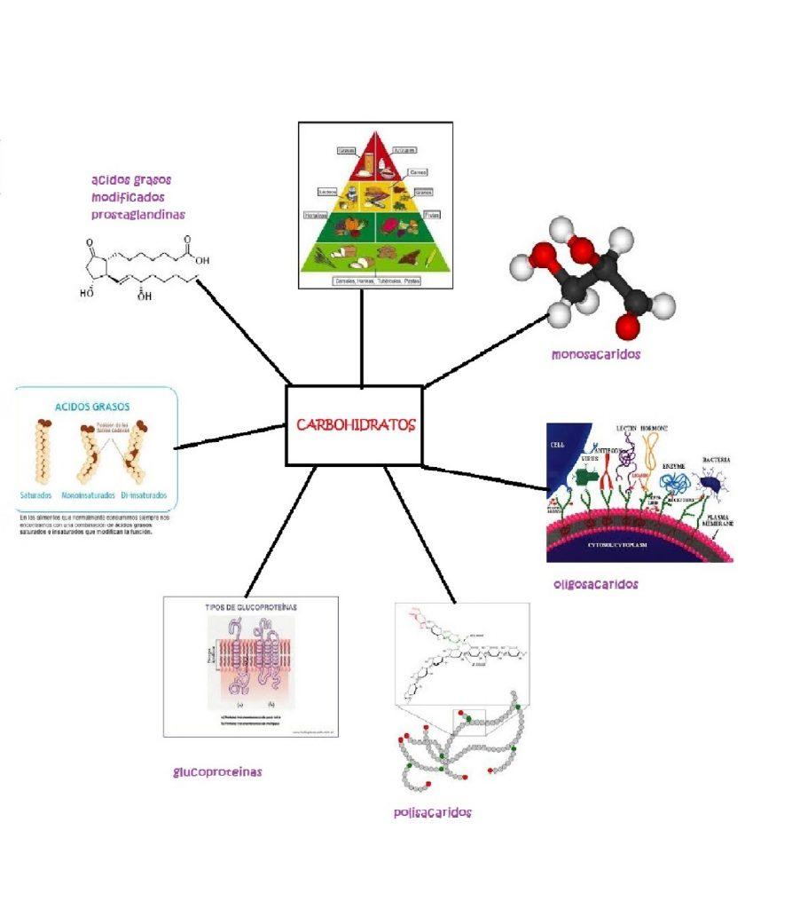 mapa mental de carbohidratos lipidos proteinas y acidos nucleicos