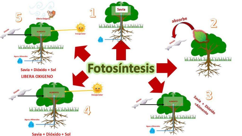 mapa mental de la fotosintesis y sus fases