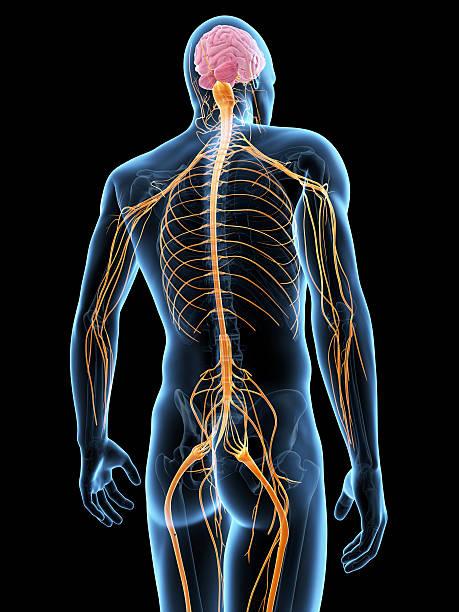 mapa mental del sistema nervioso periferico