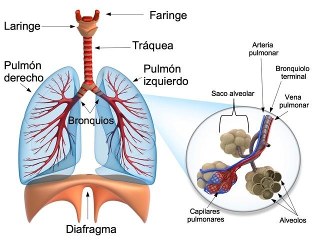 mapa mental sistema respiratorio humano