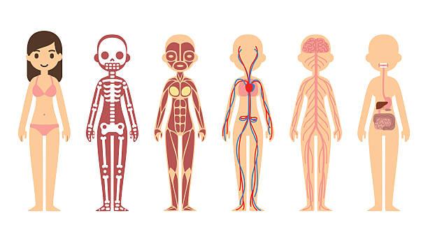 mapa conceptual del sistema óseo en los seres humanos