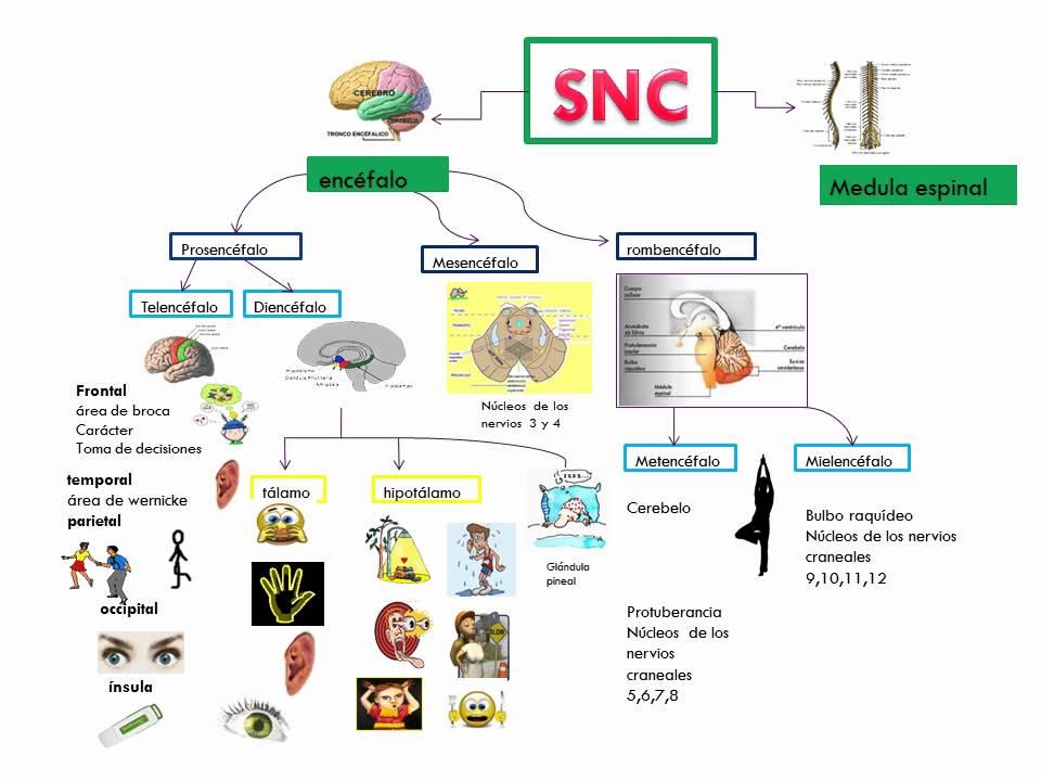 mapa mental del sistema nervioso central identificando las principales partes y funciones