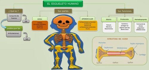 mapa conceptual del sistema óseo