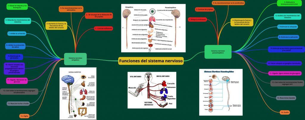 mapa mental sistema nervioso y reproductivo
